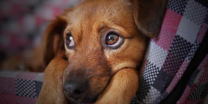 Mas de 1.800 mascotas vacunadas en Zipaquira