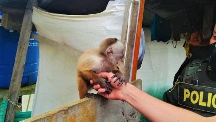 Rescattados dos monos