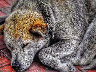 Alcalde de Ubate desistio sacrificar perros que se encuentren en las calles